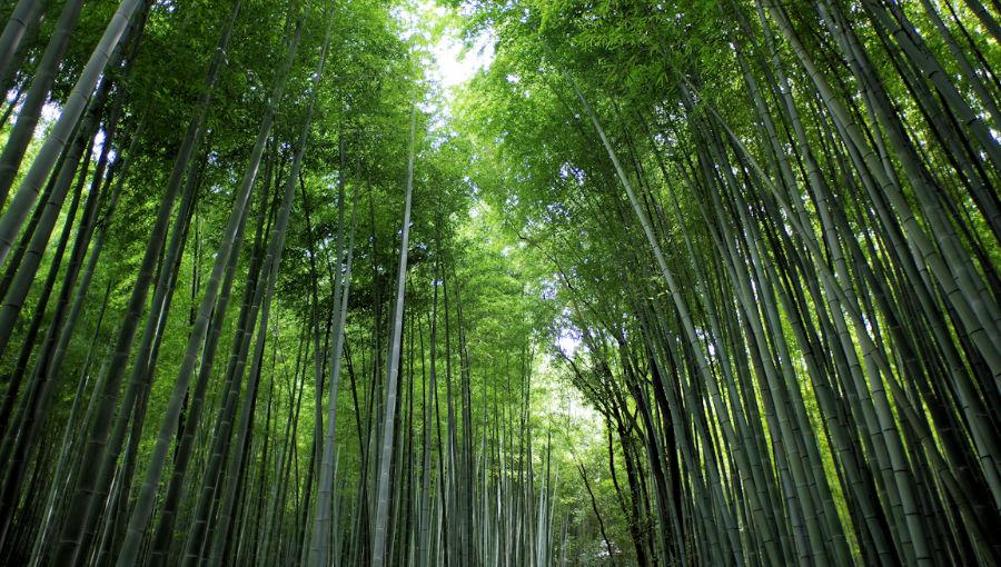Visiter_kyoto_en_une_journee_foret_de_bambou_arashiyaa